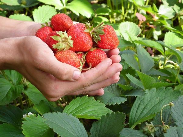 10 zaujímavých faktov, prečo sa oplatí jesť jahody